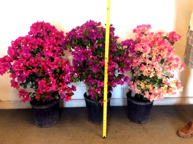 "10"" Bougainvilla Trellis Red"